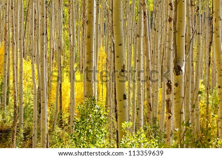 Thick forest of golden Aspen trees in autumn in Colorado - stock photo