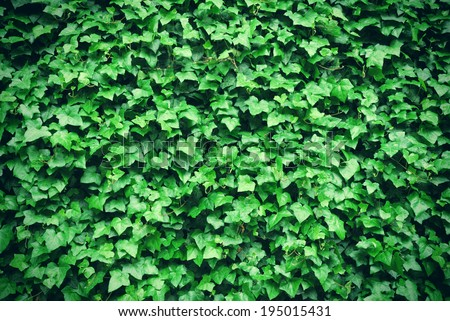 Thick green ivy leaves background - stock photo