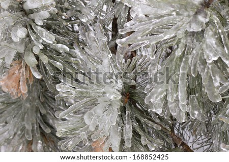 Thick ice on pine branches following freezing rain ice storm in Toronto, December 2013. - stock photo