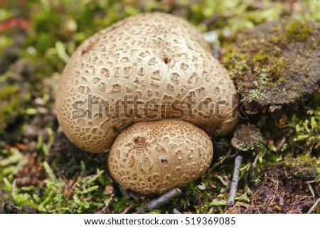 Thick-shelled earthball