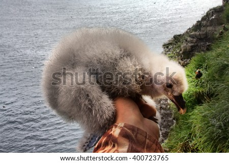 thick white fluffy nestlings of Fulmar (Fulmarus glacialis) in hand of researcher-ornithologist amid birdy spot and ocean. Aleutian-Commander islands, Pacific ocean - stock photo