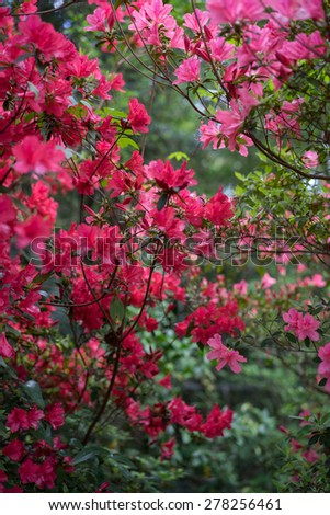 Thicket of red and pink azaleas. Short depth of field. - stock photo