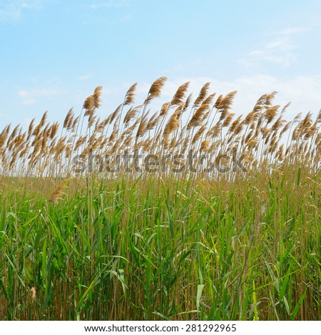 thicket of reeds over blue sky background