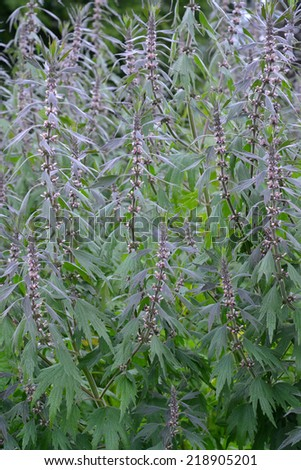 Thickets of a motherwort  shaggy five-bladed (Leonurus quinquelobatus L. ) - stock photo