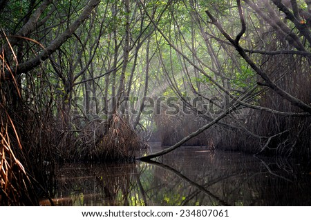 Thickets of mangrove trees in the tidal zone. Sri Lanka - stock photo