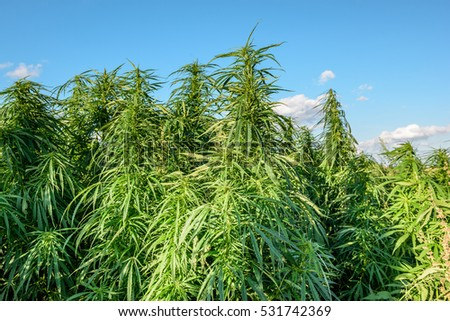 Thickets of marijuana plant in the field