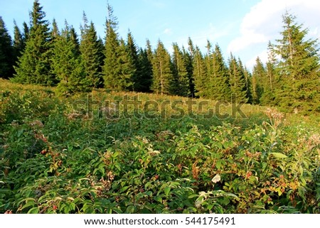 Thickets ripe wild raspberries against the background of the high fir trees in the Carpathian Mountains on the meadow.