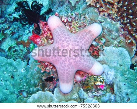 thickhand starfish - stock photo