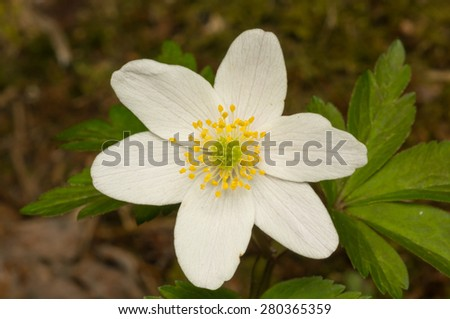 Thimbleweed blooming, also called windflower or smell fox.