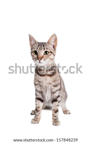Thin adult tabby cat, isolated on white - stock photo