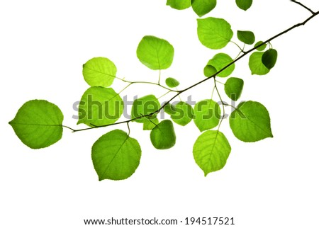 Thin twig with green leaves isolated on white   - stock photo