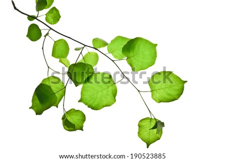 Thin twig with green leaves isolated on white background  - stock photo