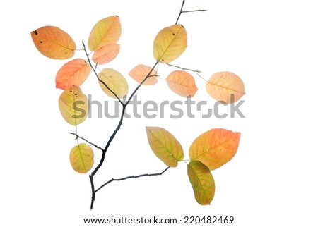 Thin twig with multicolored autumn leaves isolated on white  - stock photo