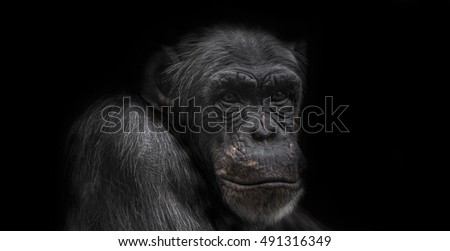 Thinking chimpanzee portrait close up 2016