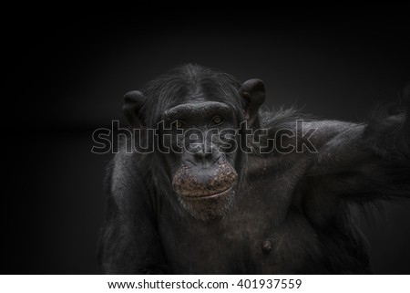 Thinking chimpanzee portrait close up Magdeburg, Germany, 2016