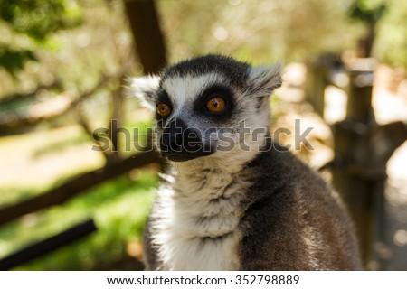 Thinking lemur, Ring-tailed Lemur (Lemur catta) - stock photo