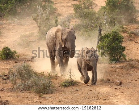 Thirsty elephants running to the waterhole ahead. - stock photo