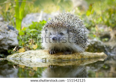 Thirsty european hedgehog