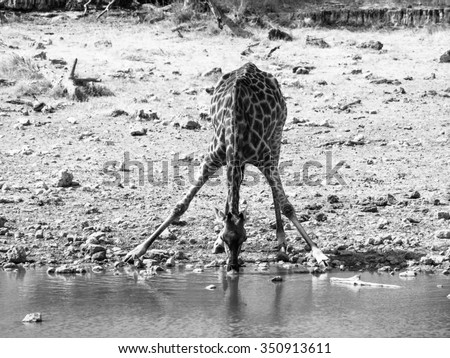 Thirsty giraffe drinking from waterhole in typical pose with wide spread legs, Etosha National Park, Namibia. Black and white image. - stock photo