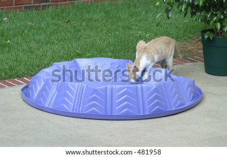 Thirsty Kitty Drinking from Purple Kiddie Pool - stock photo