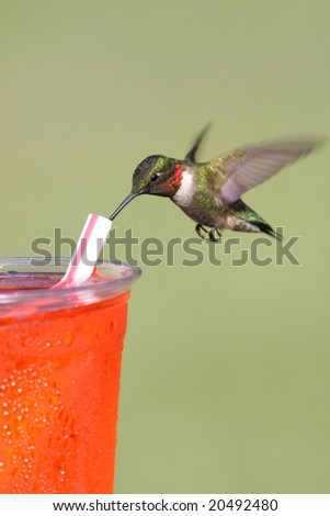 Thirsty  Ruby-throated Hummingbird (archilochus colubris) drinking from a straw - stock photo