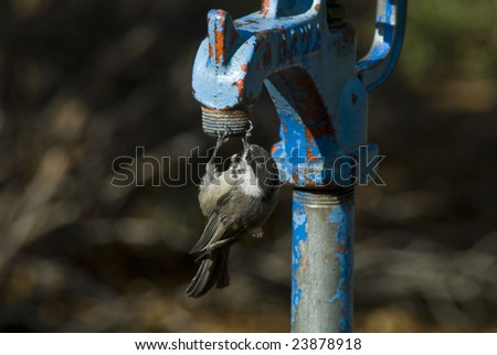thirsty sparrow - stock photo