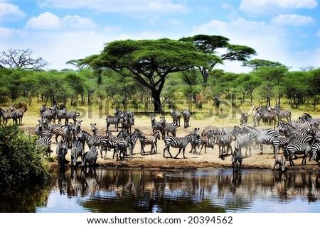 Thirsty Zebras - stock photo