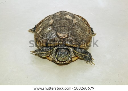 thirty years old brazil turtle top view - stock photo