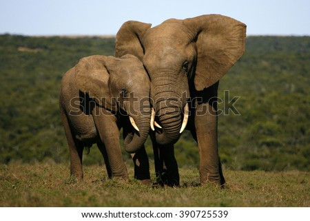 This amazing photo of two elephants interacting was taken on safari in Africa.  - stock photo