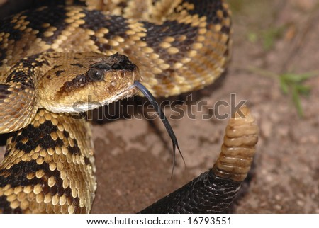 This attractive example of a black-tailed rattlesnake was photographed in the Peloncillo mountains on the Arizona New Mexico border. - stock photo