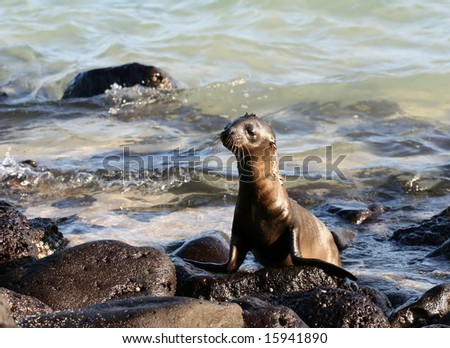 This baby Sea Lion was caught enjoying himself on the shores of the Galapagos Islands, Ecuador - stock photo