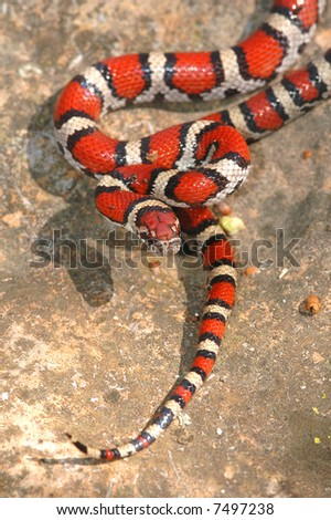 This beautiful animal is a juvenile red milk snake from western Missouri. - stock photo