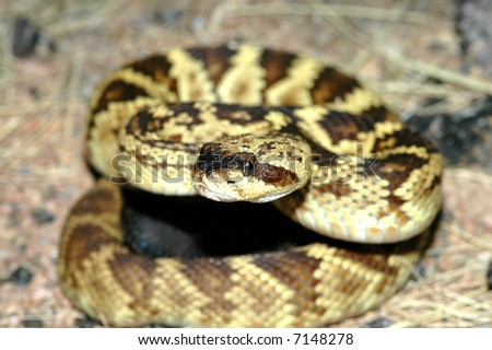 This beautiful image of a black-tailed rattlesnake was taken in the mountains of Arizona. - stock photo