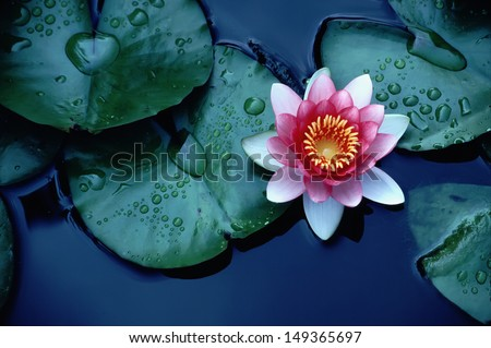 This beautiful waterlily lotus flower complimented stock photo edit this beautiful waterlily or lotus flower is complimented by the rich colors of the deep blue mightylinksfo