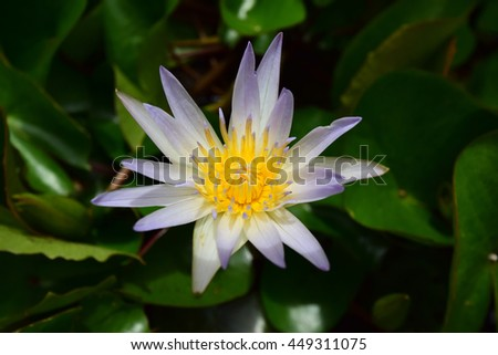 This beautiful waterlily or lotus flower is complimented by the rich colors of the deep blue water surface. Saturated colors and vibrant detail make this an almost surreal image - stock photo