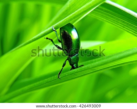 This Big Green Beetle is like a stuntman (dead-nettle leaf beetle) - stock photo