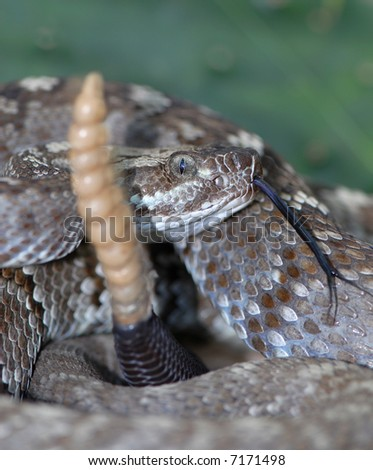 This black-tailed rattlesnake was rattling it's tail while it was being photographed. - stock photo