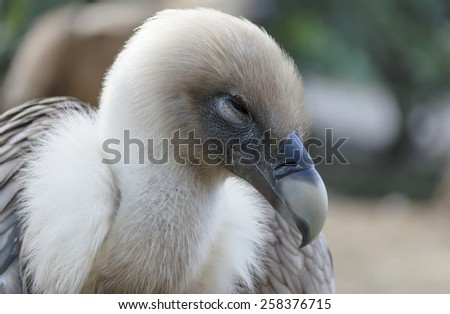 This buzzard is trying to sleep, and for this reason, he has his eye practically closed - stock photo