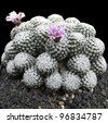 this Cactus is called  Rebutiaminuscula. this plant is very large and beautiful. there are two flowers now. - stock photo