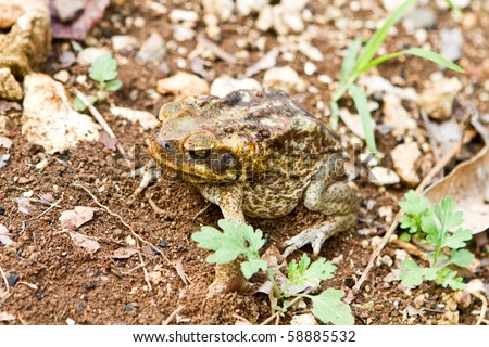 This Cane Toad, photographed in Jamaica, has secreted a milky white poison called bufotoxin from glands behind its eyes and is highly toxic to animals if eaten. - stock photo