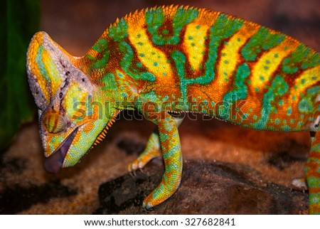 stock-photo-this-chameleon-is-hunting-in