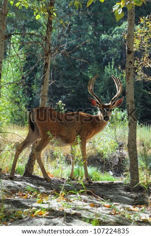 This charming little deer on the sunny meadow in Yosemite National Park - stock photo