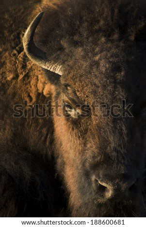 This close up of portrait of an American Bison at our local zoo was shot at sunset, highlighting the face and textures of this large mammal. - stock photo