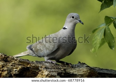 This Dove visits a feeder often in the summer - stock photo