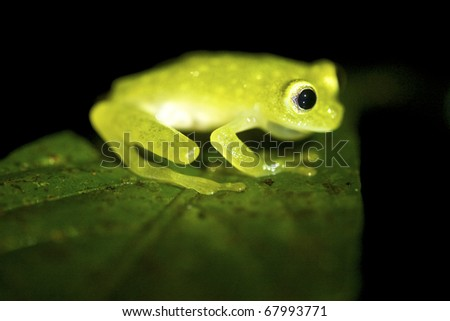 This glass frog lives near rapid streams, both in cleared areas as well as the canopy level of trees. In Costa Rica they are found in lowland and premontane moist and wet forests, premontane rainfores - stock photo