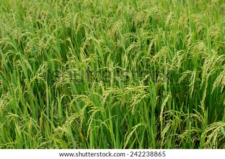 This green field is a rice. Spikelets with  grains are seen well. - stock photo