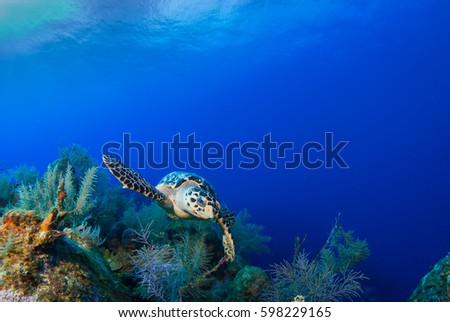 This Hawksbill turtle is happy to be alive and enjoying swimming over the tropical Caribbean coral reef. The warm deep blue ocean is the perfect habitat for this relaxed little creature.