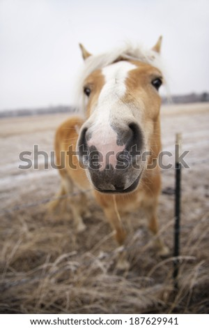 This horse loved having his photo taken. This photo was shot using a shallow depth of field. The horses nose/mouth are in focus for a funny perspective. - stock photo