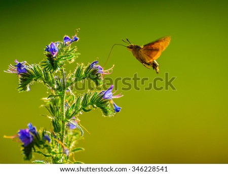 This hummingbird butterfly drinks nectar with his long tongue from a flower in France.