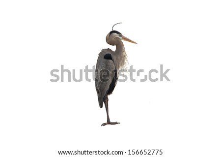 This image is of a Great Blue Heron isolated on a white background. - stock photo